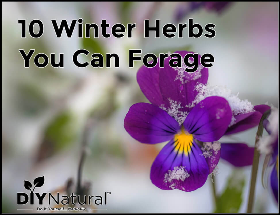 Winter Herbs Foraging