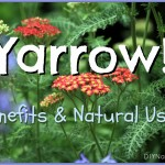 The Many Natural Uses and Benefits of Yarrow
