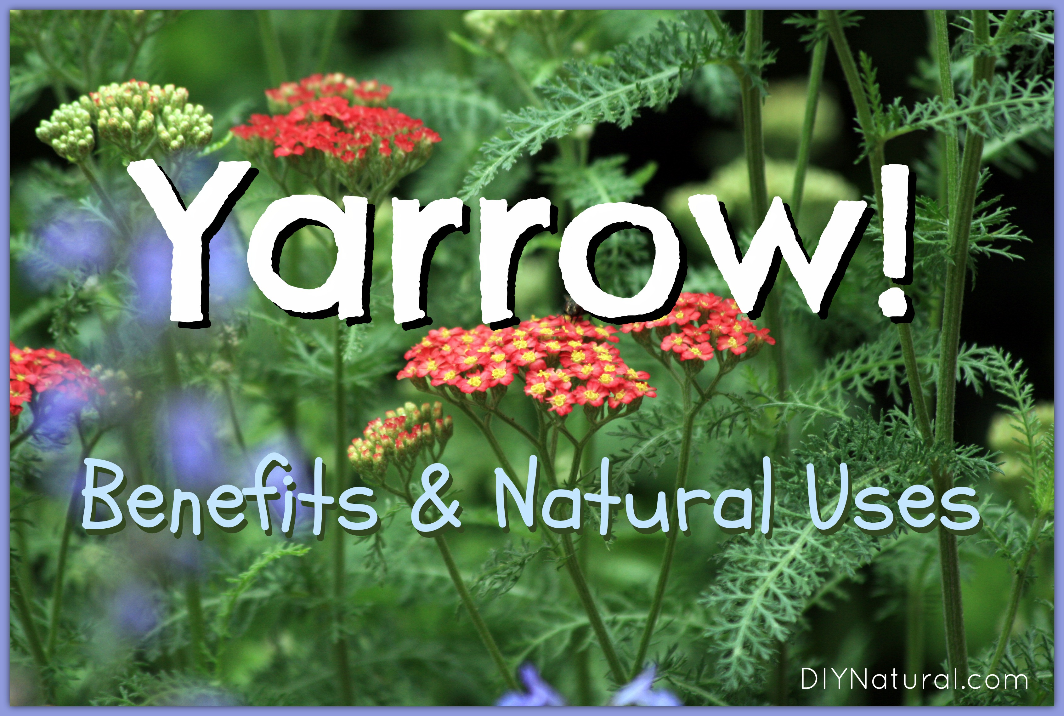 Yarrow Plant Its Many Benefits And Natural Uses